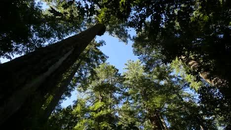 Parque-Nacional-De-La-Secoya-De-California-Lady-Bird-Johnson-Grove-Copas-De-Los-árboles-Y-Cielo-Azul