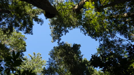 Parque-Nacional-De-La-Secoya-De-California-Dama-Pájaro-Johnson-Grove-Copas-De-Los-árboles-Alejar