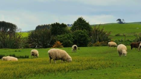 New-Zealand-Catlins-Sheep-Eating-Grass-Pan