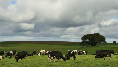 New-Zealand-Cattle-Under-Cloudy-Sky