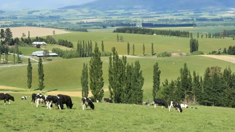 New-Zealand-Countryside-Mackenzie-District-Cattle