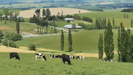 New-Zealand-Countryside-And-Black-And-White-Cattle-Pan
