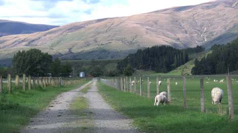 New-Zealand-Lamb-Grazes-Next-To-A-Fence-By-A-Lane