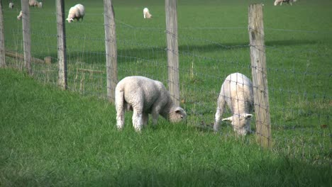 New-Zealand-Lamb-Outside-Fence
