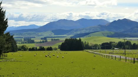New-Zealand-Landscape-With-Sheep-Grazing