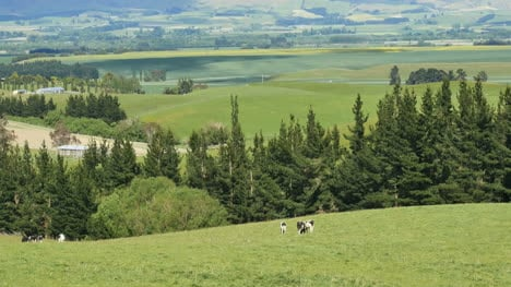 New-Zealand-Landscape-With-Trees-And-Cow