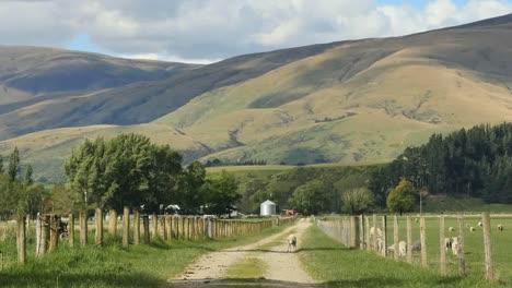 Carril-De-Nueva-Zelanda-Con-Ovejas-Y-Corderos-En-Carretera-Zoom-In