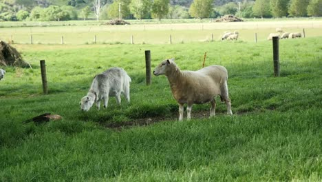 New-Zealand-Pet-Sheep