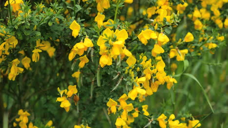 Escoba-Escocesa-De-Nueva-Zelanda-Flores