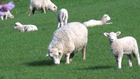 New-Zealand-Sheep-And-One-Lamb-Zoom-And-Pan