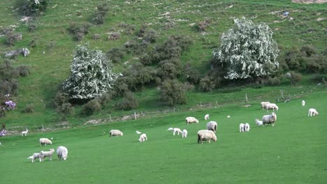 New-Zealand-Sheep-And-White-Flowered-Trees