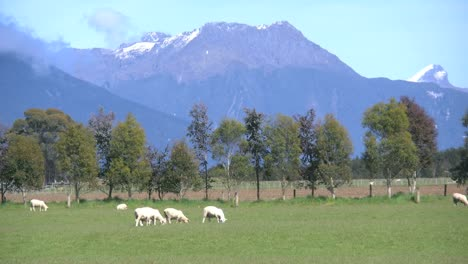 New-Zealand-Sheep-Graze-With-Mountains-Beyond