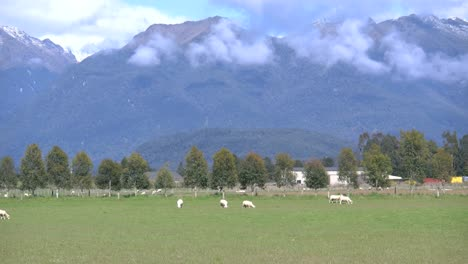 New-Zealand-Sheep-Grazing-In-Green-Pasture