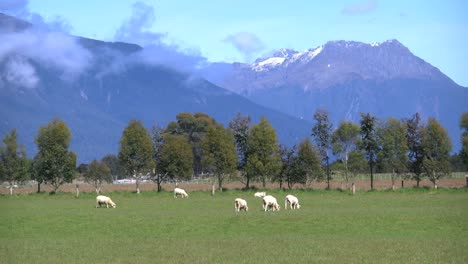 New-Zealand-Sheep-Grazing-With-Mountains