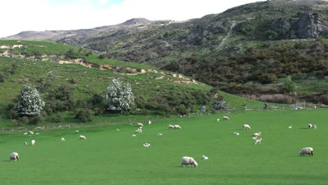 New-Zealand-Sheep-In-Green-Landscape