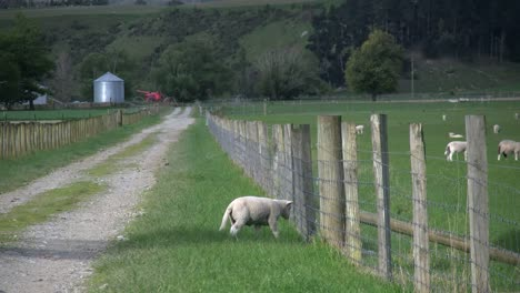 New-Zealand-Sheep-Lamb-By-Fence-Turns-To-Lane