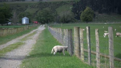 Nueva-Zelanda-Ovejas-Cordero-Por-Cerca-Se-Convierte-En-Carril