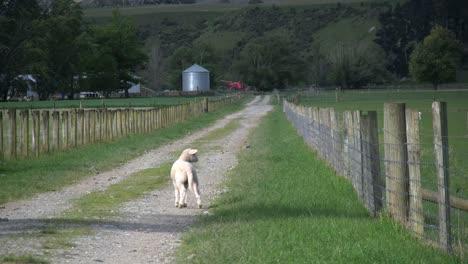 New-Zealand-Sheep-Lamb-In-Lane