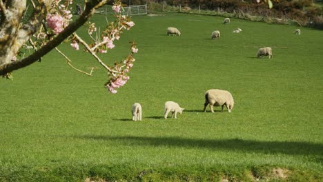 New-Zealand-Sheep-With-Little-Lambs