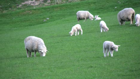 New-Zealand-Sheep-With-Several-Lambs