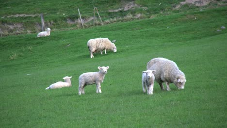 New-Zealand-Sheep-With-Two-Little-Lambs