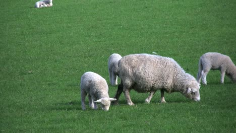 New-Zealand-Three-Lambs-And-Grazing-Sheep