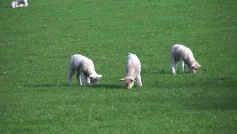 New-Zealand-Three-Lambs-And-Sheep