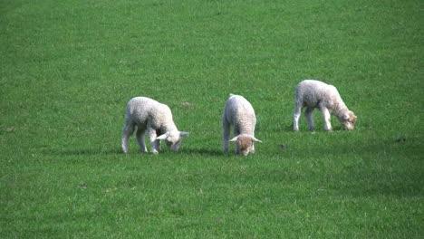 New-Zealand-Three-Lambs-Grazing