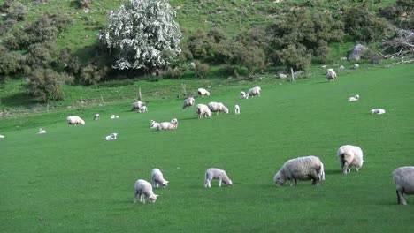 New-Zealand-Three-Lambs-In-Landscape