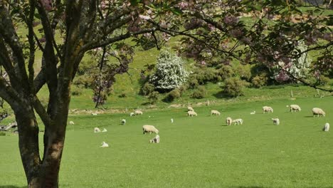 New-Zealand-Tree-Frames-Sheep