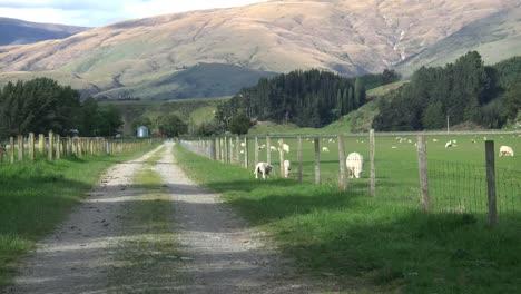 New-Zealand-Zooms-Down-Lane-Past-Sheep-At-Farm