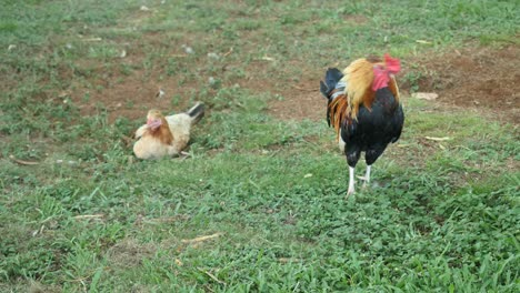 Oahu-Rooster-And-Hen