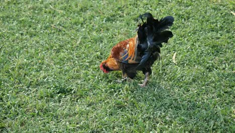 Oahu-Rooster-Walking