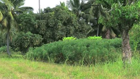 Rarotongo-Crops-Cassava-And-Mangos