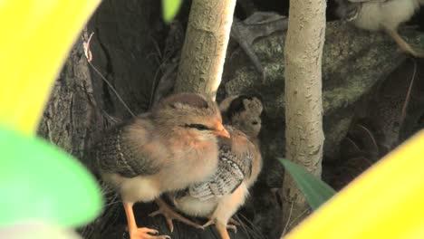Rarotongo-Cute-Baby-Chicks