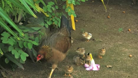 Rarotongo-Hen-Walks-Past-Baby-Chicks