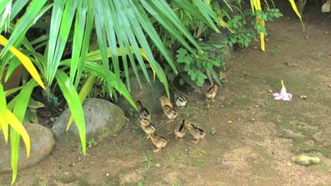 Rarotongo-Hen-Walks-With-Baby-Chicks