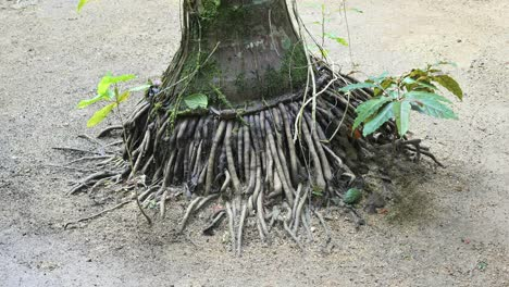 Vanuatu-Tree-With-Multiple-Roots
