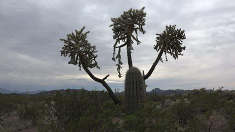 Arizona-Chain-Cholla-In-Organ-Pipe