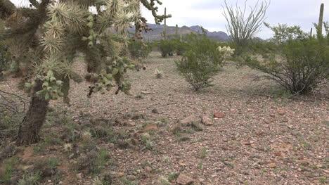 Arizona-Cholla-Cactus-View