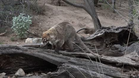 Arizona-Coatimundi-Exploring