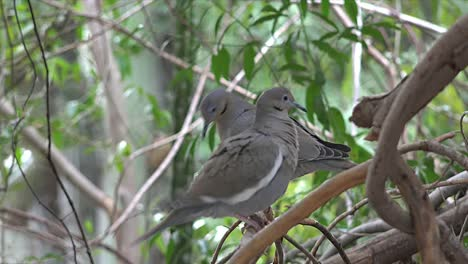 Arizona-Doves-In-Tree