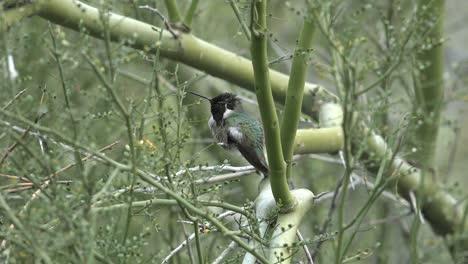 Arizona-Hummingbird-In-Branches