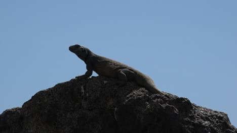 Arizona-Lizard-Against-Blue-Sky-Zoom-In