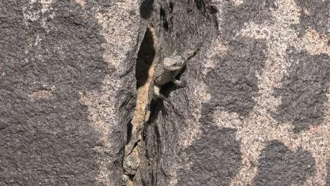 Arizona-Lizard-By-Rock-Crack-Looks-Around
