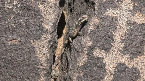 Arizona-Lizard-In-A-Rock-Crack-Zoom-In