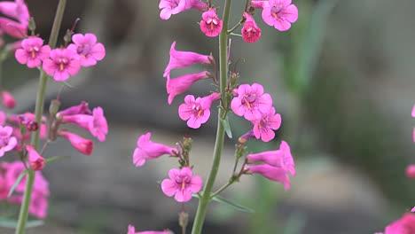 Arizona-Pink-Flower