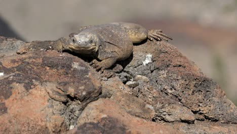 Arizona-Sitting-Lizard