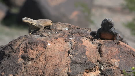 Arizona-Two-Lizards-On-A-Rock