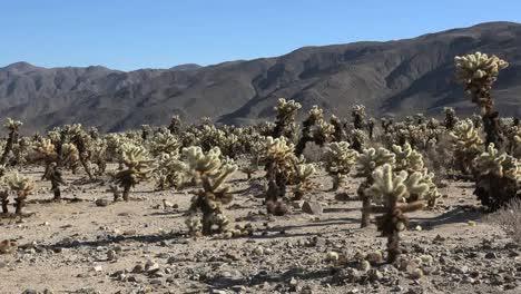 California-Joshua-Tree-Cholla-Patch-Pan-And-Zoom